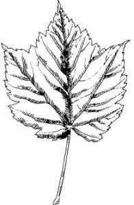 Maple Tree ID