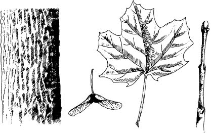 Norway Maple Bark Fruit Leaf And Twig